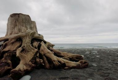 Huge Driftwood at Okarito Beach