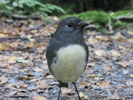Curious South Island Robin on the Routeburn track