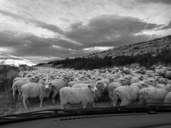 Trying out sheep mustering